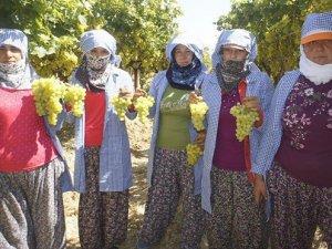 Şeker hastalarının ilacıSuperior seedless üzümünün ihracaatı