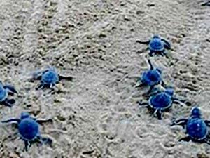 487 bin deniz kaplumbağası denizle buluştu