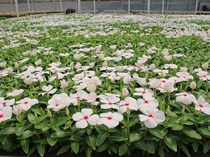 Antalya'da şehir için 5,5 milyon çiçek üretildi