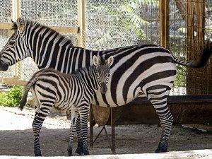 Antalya hayvanat bahçesinin yeni misafirleri yeni yavrular