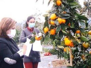 Yaklaşık 95 yıllık Rize mandalinası tescilleniyor