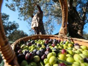 Geyikli zeytinyağı markalaşıyor