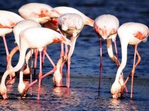 Kaçak ele geçirdikleri flamingoların kanatlarını kesmişler