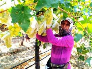 Sultani üzümleri korumak için 4 bin salkımı poşetledi