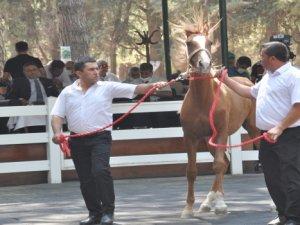 Safkan Arap taylarının satışından 8,5 milyon lira gelir elde edildi