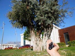 Döşemealtı'nda 6 asırlık zeytin ağacı kurtarıldı