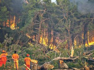 Manavgat'ta yanan 404 bin kızılçam ağacı satışa çıktı