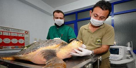 Yaralı Caretta tedavi altına alındı