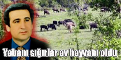 Kılkım: Yabanı sığırlar avlanıyor