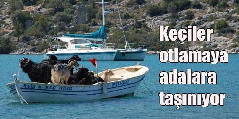 Demre'de keçiler adada otluyor