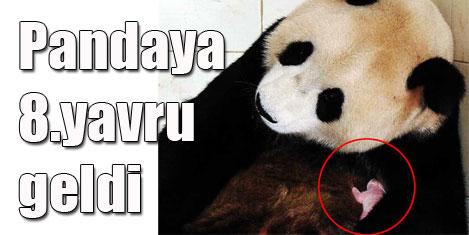 Panda, 8. yavrusunu doğurdu