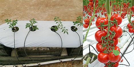 Topraksız tarımda 5 ton domates