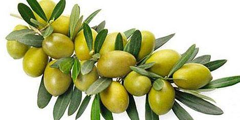 Zeytin yaprağı kalp hastalığında
