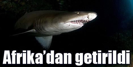 Akvaryuma 4 köpekbalığı geldi