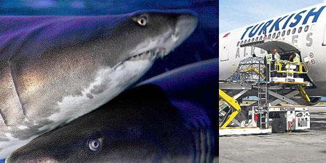 THY Kargo köpek balığı taşıdı