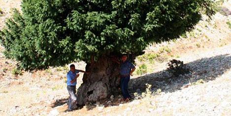 1200 yıllık ağaç tescilleniyor