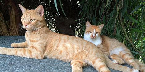 Sheraton Adana'yı kediler koruyor
