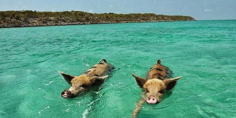 Orman bittti domuzlar şehre kaçıyor
