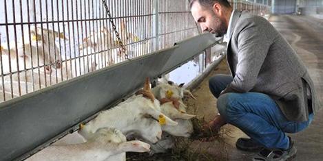 Keçi sütü ile Avrupa'ya açılıyor