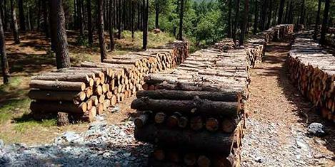 Belgrad Ormanları'nda ağaç kesimi