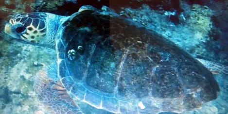 Kaplumbağalar denizi çölleştirdi