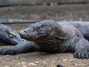 Komodo ejderleri adasının kapanması turizmcileri endişelendirdi