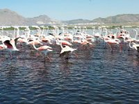 Flamingoları Kayseri,Hürmetçi Sazlığı'ndaseyre dalın