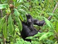Ruanda, goril turizmi ile ülkeye turist çekiyor