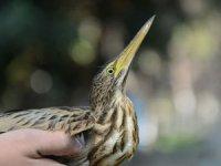 Nesli tükenmekte olan Balaban kuşu tedavi edildi