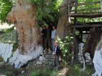 Romalıların diktiği çınar ağaçlarına UNESCO koruması istendi