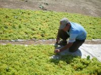 Türkiye, çekirdeksiz kuru üzümihracatında dünya birincisi