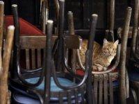 Belçika'da bir kedi, sahibinden koronavirüs kaptı