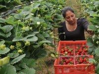 İngiliz çalışmıyor,  Romanya'dan çiftliklere işçi getiriliyor