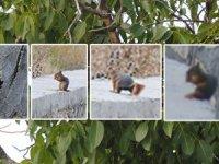 İmrahor'daki ceviz ağaçları sincap istilasına uğradı