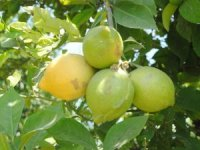Limon ihracaatında kısıtlama kalktı