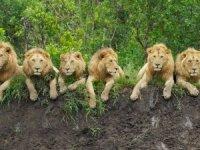 Dünya Aslan Günü: Güney Afrika'da aslan sayıları azalıyor