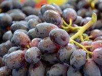 Kilis Karası denilen Horoz Karası üzümünün hasadı başladı