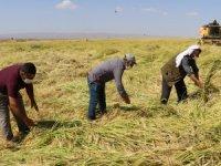 Diyarbakır mucizesi:Karacadağ Pirinci'nin hasadıbaşladı