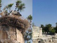 Zeus Tapınağı göç yolundaki leylek ailesine yuva oldu