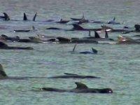 Avustralya'da karaya vuran balinalardan en az 90'ı öldü