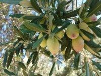 Antalya'nın'' Beylik'' zeytini tescillendi