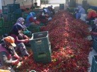 Bursa'da kadınların ürettiği salçalar, Hollanda'ya ihraç ediliyor