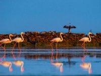 Flamingolar yıllık göç yollarındamolaiçin Katar'a akın ediyor