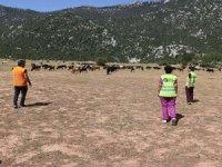 Eynif'te yaşayan yılkı atlar ile yöreye özgü inekler korumaya alındı