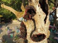 Marmaris'teki 2 bin yıllık ağacın yaraları sarıldı