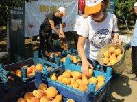 Gönüllüler şeftaliyi hasat edip ihtiyaç sahiplerine gönderiyor