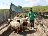 Köylünün kurtların boğduğu 27 koyunun, 15 koyun hediye edildi