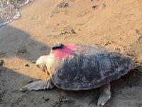 Uydu takip cihazı takılan deniz kaplumbağaları suya salındı