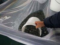 THY Cargo 1.5 milyon canlı çipura taşıdı