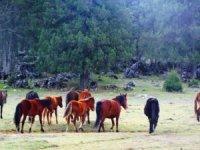 3 bin ardıç ağacı mermer ocağı için kesilecek